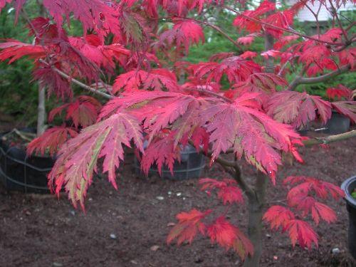 Aconitifolium (Acer japonicum 'Aconitifolium')