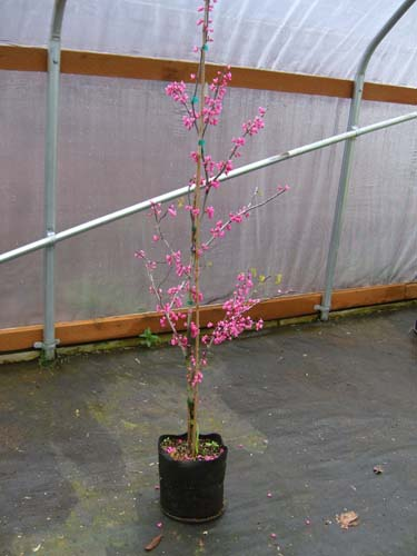 Appalachian Red (Cercis canadensis 'Appalachian Red')
