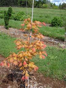 Autumn Moon (Acer shirasawanum 'Autumn Moon')