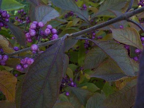 Beauty Berry (Callicarpa bodinieri 'Profusion')