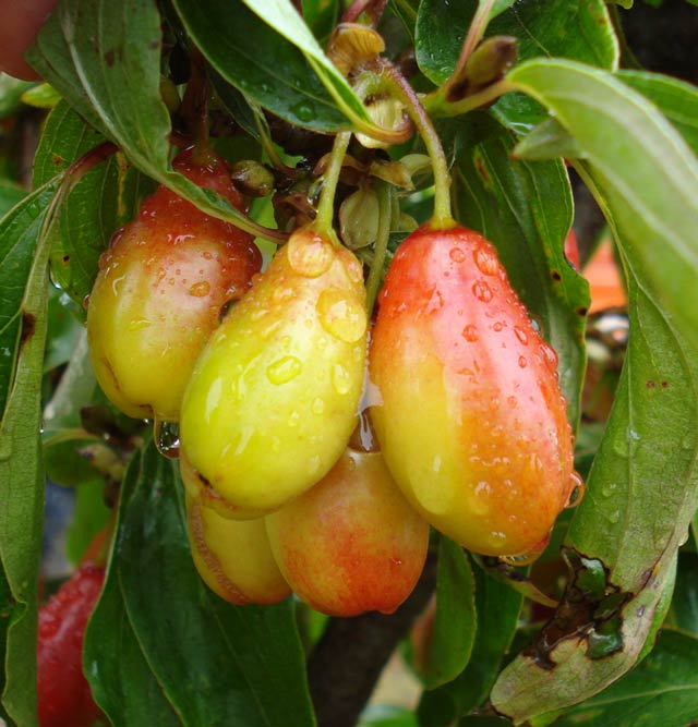 Bigfruit (Cornus mas 'Big Fruit')