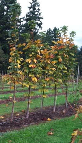 Bigleaf Maple (Acer macrophylla 'Seattle Sentinel')