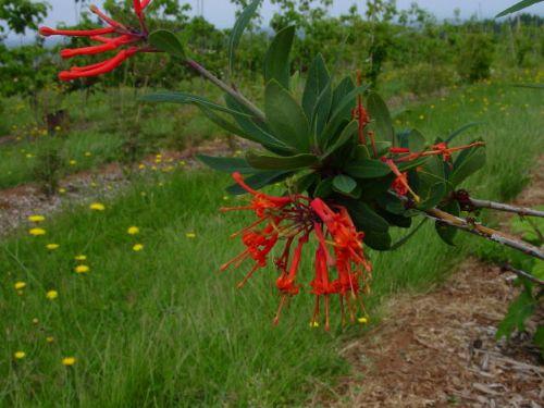 Chilean Firetree (Embothrium coccineum)
