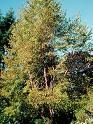 Chinese Red Birch (Betula albo-sinensis)