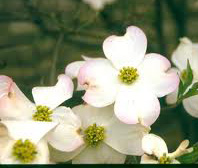 Cloud 9 (Cornus florida 'Cloud 9')
