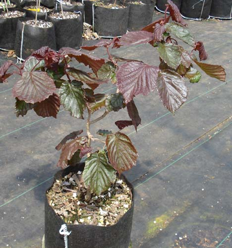Contorted Filbert (Red Majestic) (Corylus avellana 'Red Majestic')