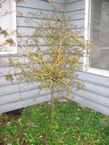 Contorted Hawthorn (Snakethorn) (Crataegus monogyna 'Snakethorn')