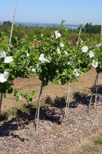 Roses Of Sharon Whitman Farms