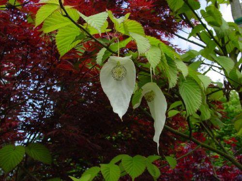 Dove Tree (Davidia involucrata 'Sonoma')