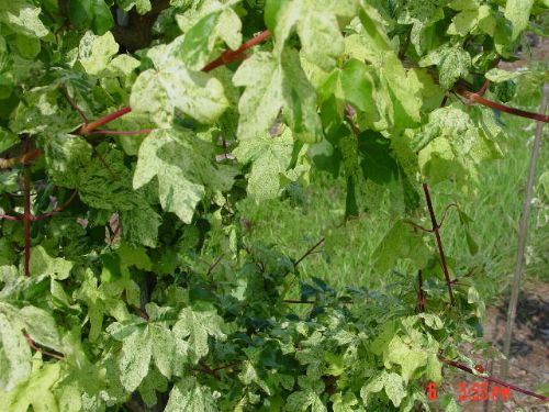 Dusty Hedge Maple (Acer campestre 'Pulverulentum')