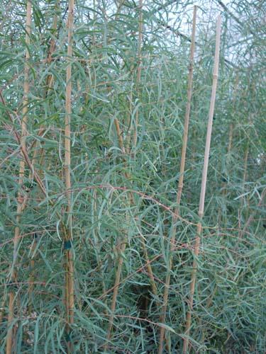 Eucalyptus nicholi (Eucalyptus nicholi)