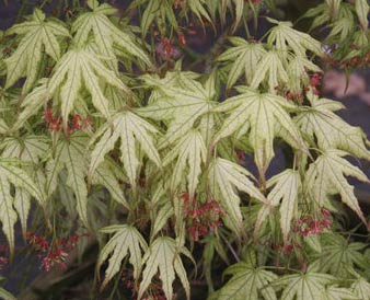 First Ghost Acer Palmatum First Ghost Whitman Farms