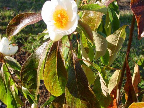 Franklinia (Franklinia altamaha)