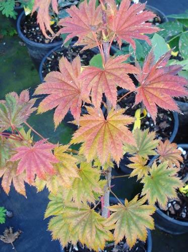 Full Moon Maple (Acer shirasawanum)