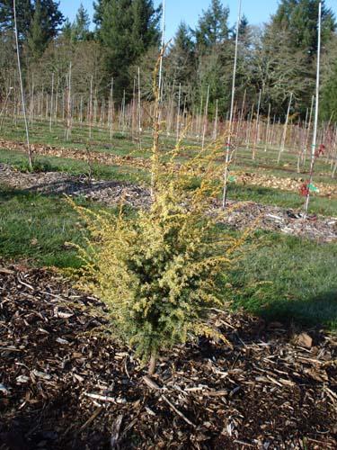 Gold Cone (Juniperus communis 'Gold Cone')