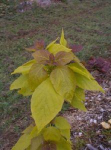 Golden Catalpa (Catalpa bignoides 'Aurea')