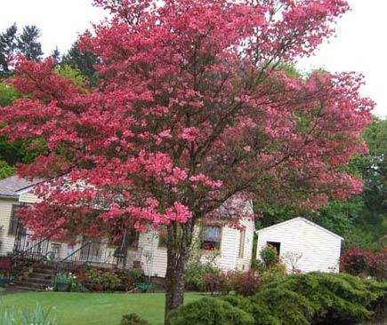 Grand Scarlet (Cornus florida 'Grand Scarlet')