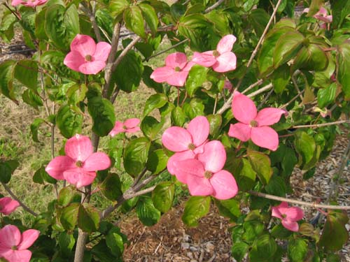Heartthrob (Cornus kousa 'Heartthrob')