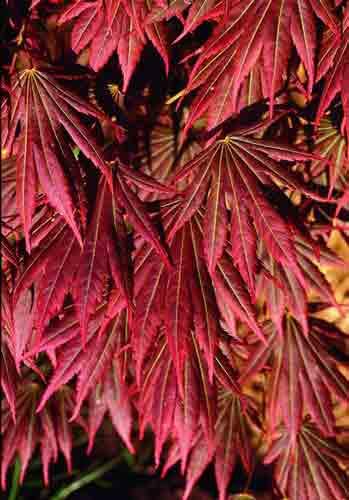Johin (Acer shirasawanum 'Johin')