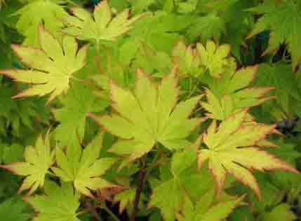 Jordan (Acer shirasawanum 'Jordan')