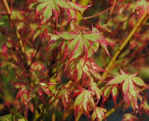 Acer Palmatum Whitman Farms Page 9