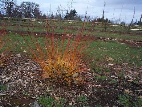 Midwinter Fire (Cornus sanguinea 'Midwinter Fire')