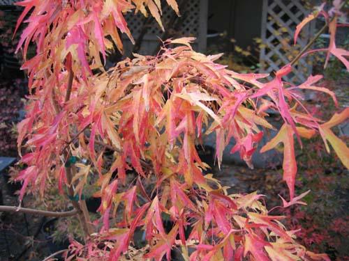 Mino yatsubusa (Acer buergeranum 'Mino yatsubusa')