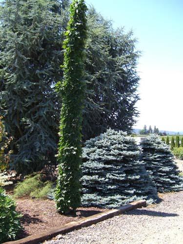 Monumentale (Acer saccharum 'Monumentale')