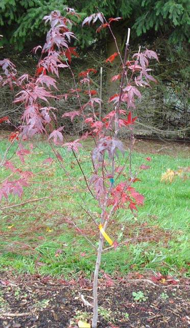 Acer Palmatum Whitman Farms Page 7