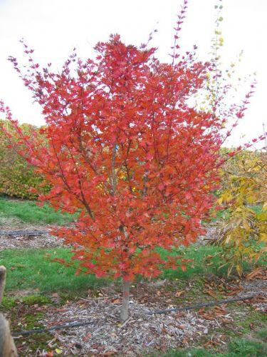 Ogurayama (Acer shirasawanum 'Ogurayama')