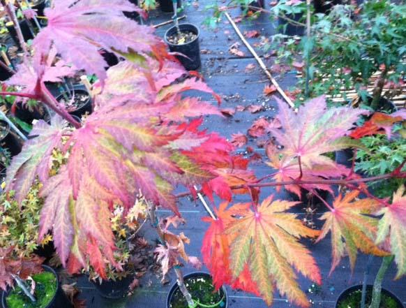 Otaki (Acer japonicum 'Otaki')