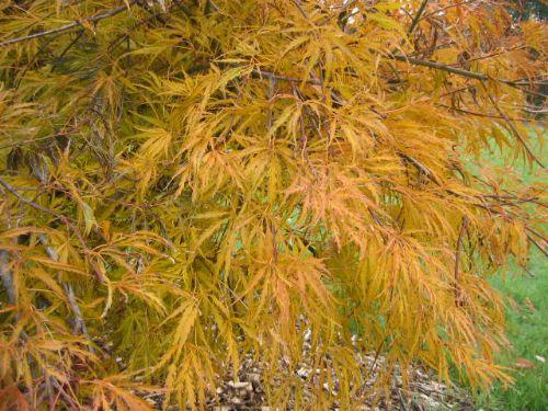 Palmatifidum (Acer palmatum 'Palmatifidum') | Whitman Farms