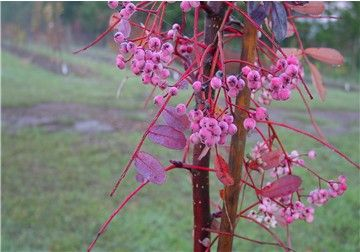 Pink Pagoda (Sorbus huphensis 'Pink Pagoda')