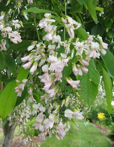 Pink Yellowwood (Cladrastus lutea 'Rosea')