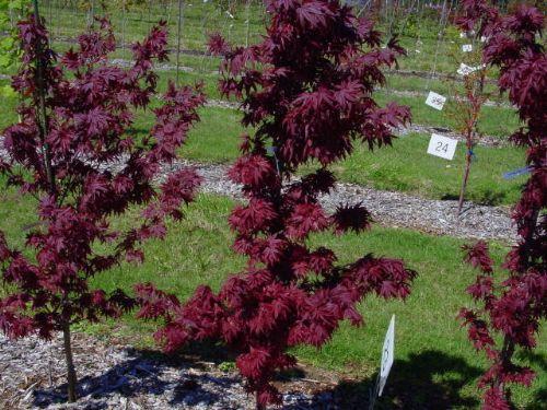 Acer Palmatum Whitman Farms Page 5