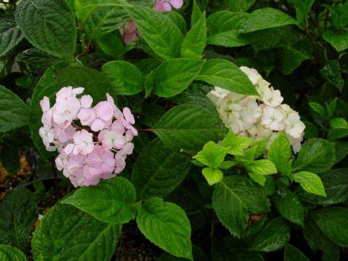 Preziosa (Hydrangea macrophylla 'Preziosa')