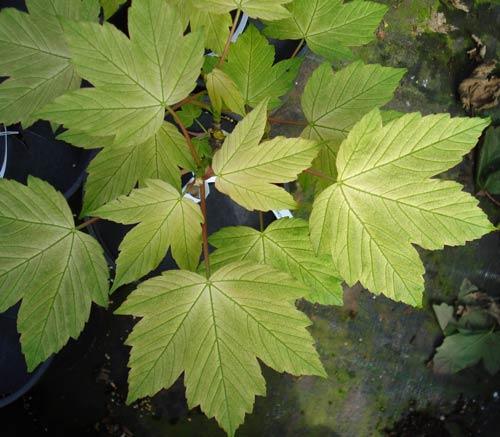 Prinz Handjery (Acer pseudoplatanus 'Prinz Handjery')