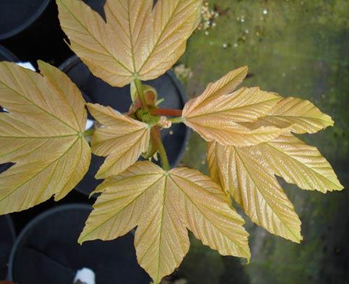 Puget Pink (Acer pseudoplatanus 'Puget Pink')