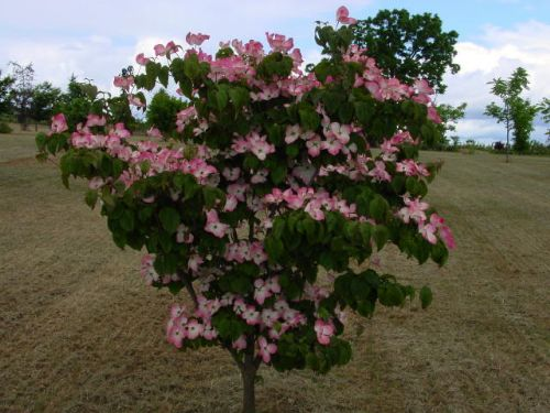 Radiant Rose (Cornus kousa 'Radiant Rose')