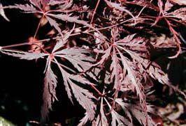 Red Dragon (Acer palmatum 'Red Dragon')