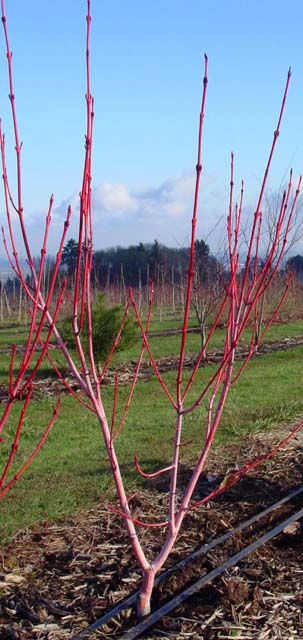 Red Snakebark Maple (Acer pennsylvanicum 'Erythrocladum')