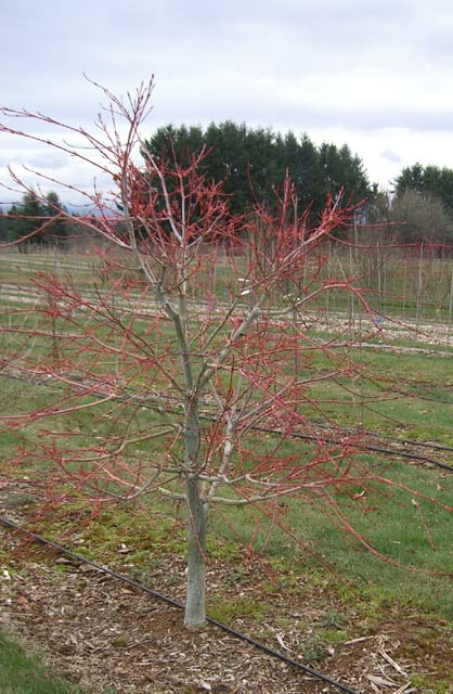 Red Snakebark Maple (Acer rubescens 'Silver Cardinal')