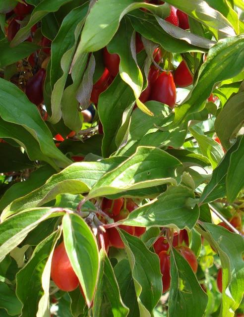 Redstar (Cornus mas 'Redstar')