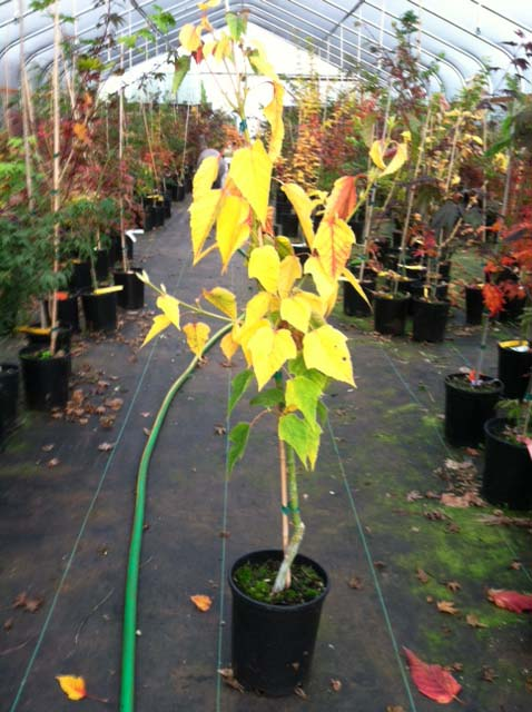 Redvein Maple (Acer rufinerve 'Albolimbata')