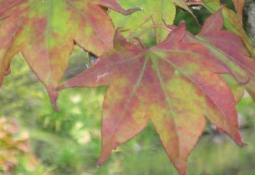 Acer Palmatum Whitman Farms Page 4