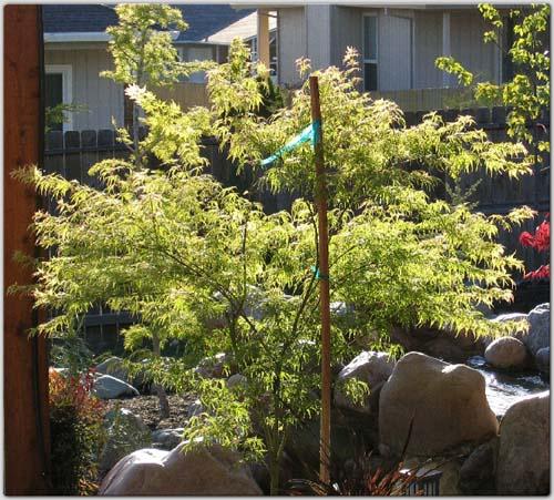 Seiryu (Acer palmatum 'Seiryu')