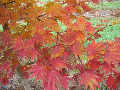 Siebold Maple (Acer sieboldianum 'Sode no uchi')