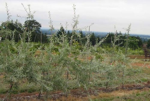 Silver Frost (Pyrus salicifolia)