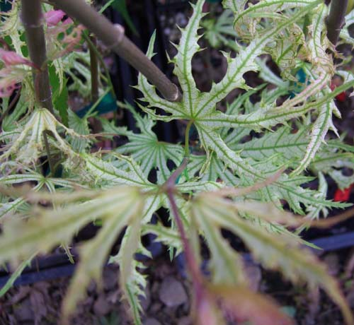 Sister Ghost (Acer palmatum 'Sister Ghost' )