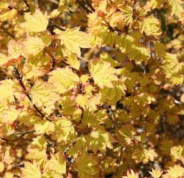 Acer Circinatum Whitman Farms